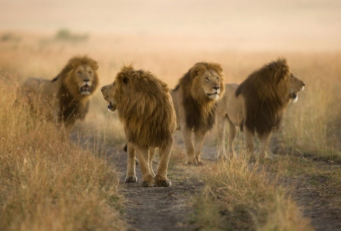 Vier männliche Löwen schreiten durch die Savanne in Kenia