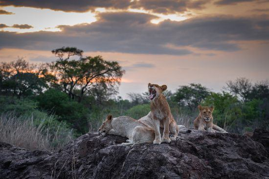 Lions sitting on a rock in the African bush