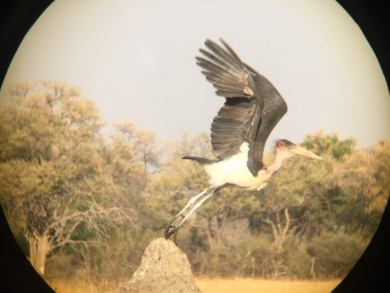 iPhone photography of a stork using burst mode and binoculars