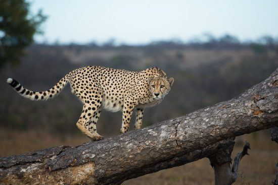 A cheetah can be spotted on Safari in Kruger