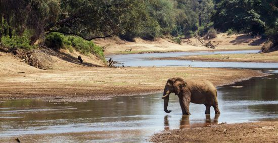 An elephant at a river in Kruger