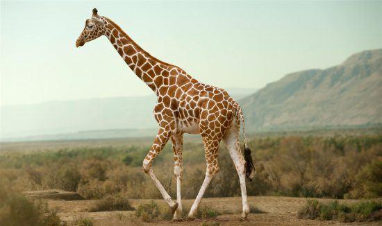 Beautiful giraffe with distinct markings walking