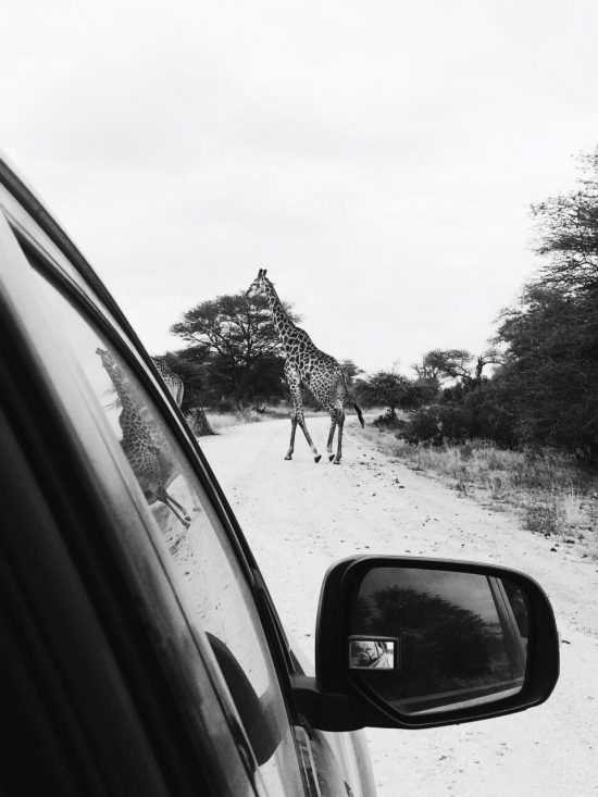 Black and white photo of a giraffe in the road