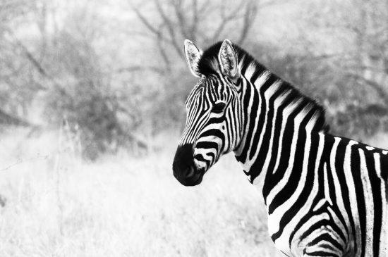 iPhone photography of zebra in black & white