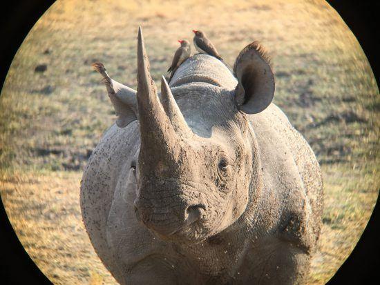 iPhone photography of a rhino , using binoculars