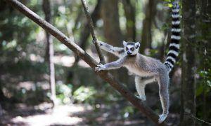 Un lémur trepando una rama en uno de los bosques de Madagascar.