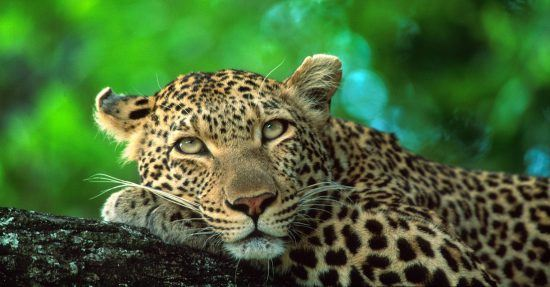 Leopard daydreaming in a tree