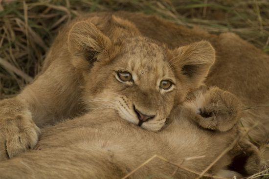 Two lion cubs playfully practicing their fighting skills