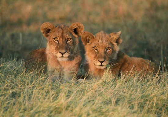 Two young lions sitting in grass