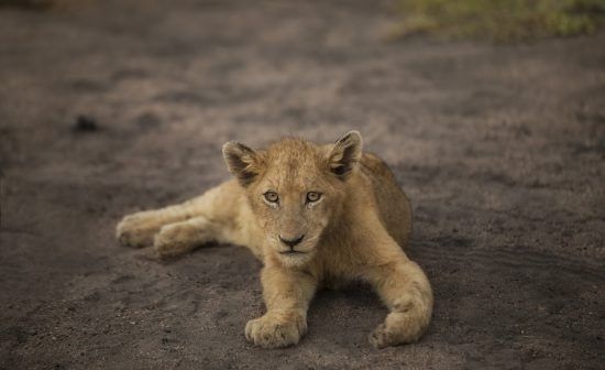 lion rhino africa