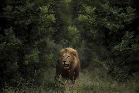 Large male lion emerging from bushes