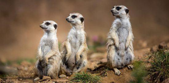 Three meerkats on their hind legs in the Kalahari in Namibia
