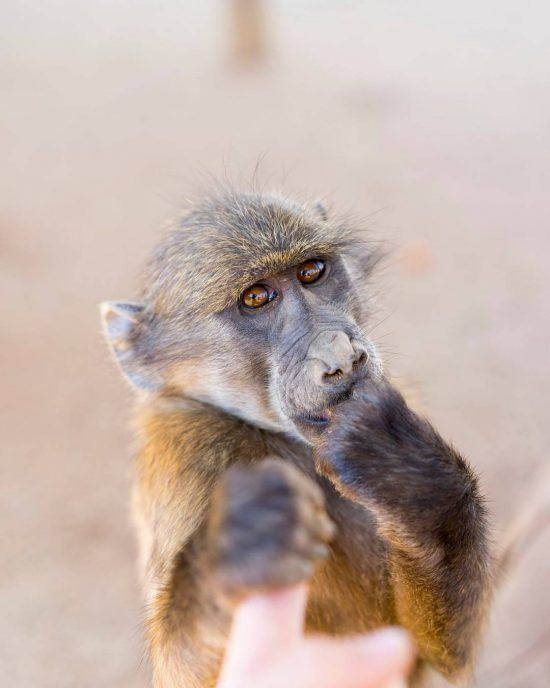 Baboon holding a persons finger in the naankuse foundation