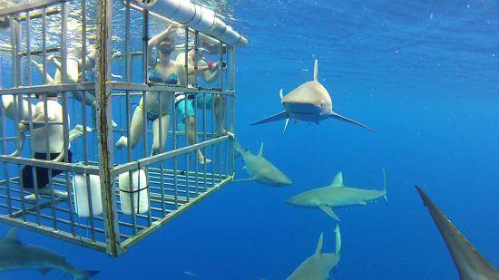 Eine Gruppe beim Käfigtauchen beobachtet mehrere Haie unter Wasser
