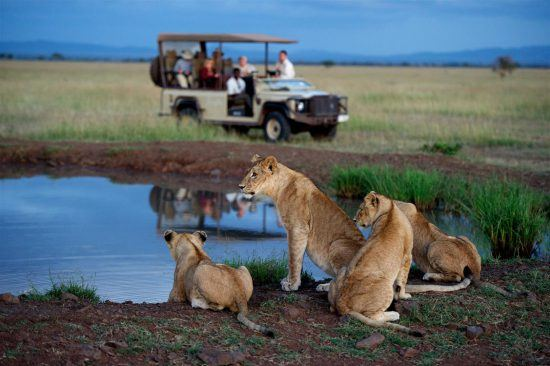 Tribu de lions au bord d'un lac au Lodge Singita Serengeti en Afrique.