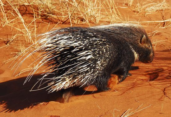 Porcupine at Tswalu Kalahari Reserve