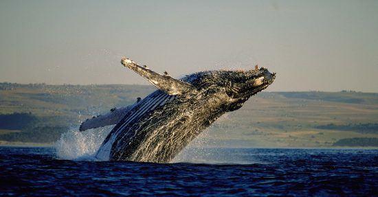 Ein Wal springt vor der Küste aus dem Wasser