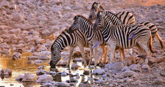 zebras-drinking-water-hole etosha namibia
