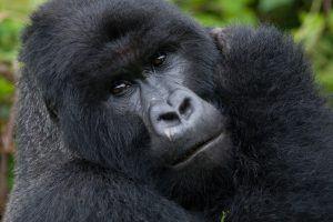 Gorille des montagnes mâle au Rwanda