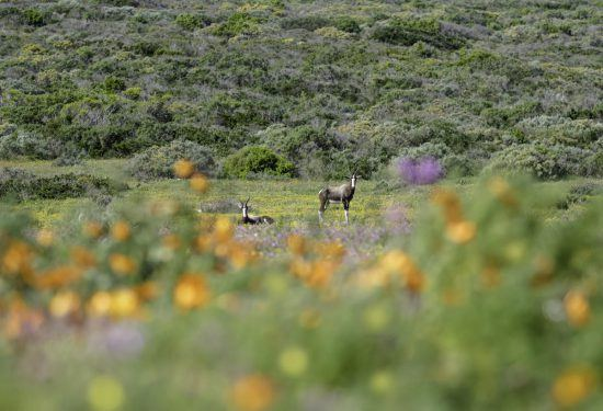 Eland in National Park with flowe4rs