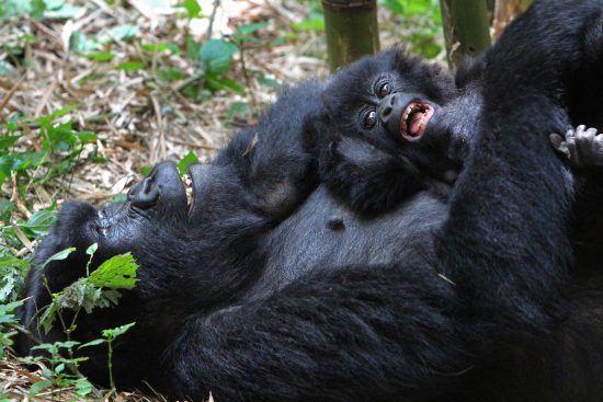 gorilla mama and her baby