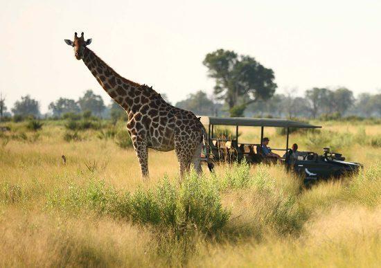 Girafa é vista em safári na região do Delta do Okavango