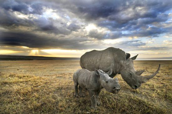 Rhino and her baby walking under the dark clouds