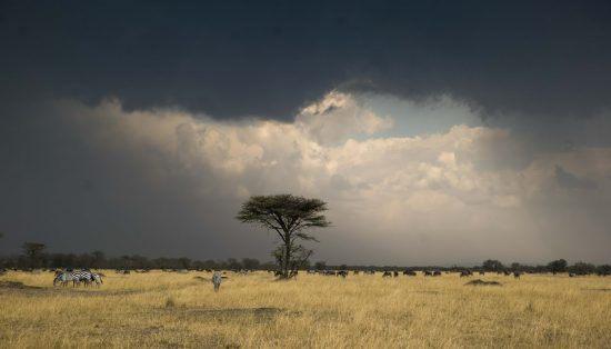 Paisagem conta com zebras à esquerda, árvore no meio e nuvens escuras acima