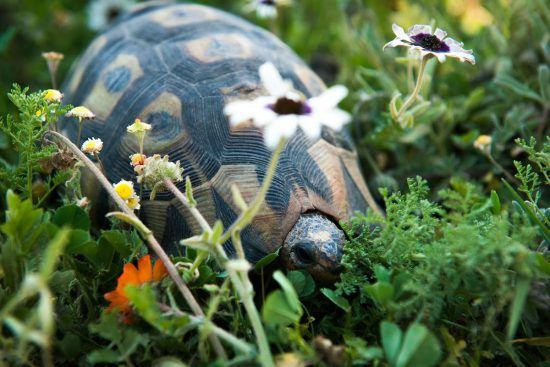 Tortoise among spring flowers, South Africa