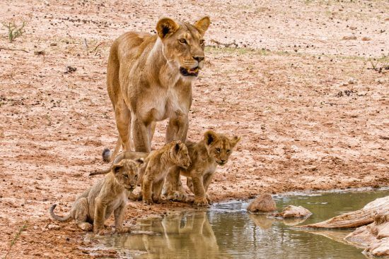 Cubs and mother about to drink