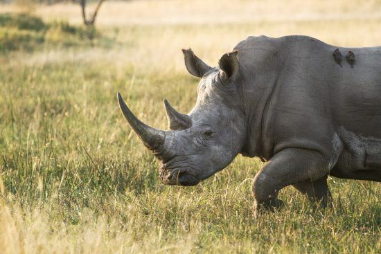 Rhino walking in grass with Oxpecker birds