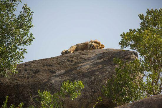 Leão descansa em rocha