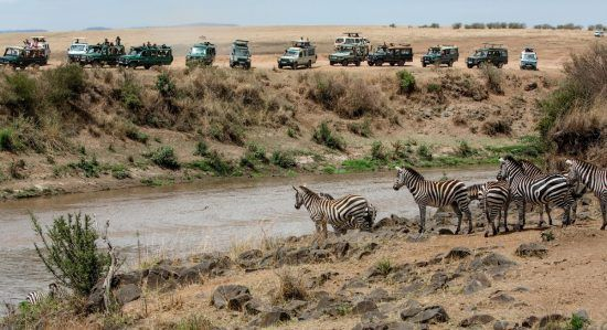 Zebra stare nervously at the water as they attempt a Mara River Crossing during the Great Migration