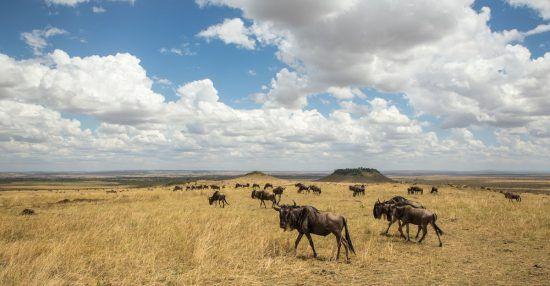 A Grande Migração dos Gnus em Mara, Quênia