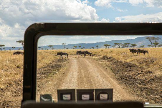 Gnus são observados a partir de veículo de safári