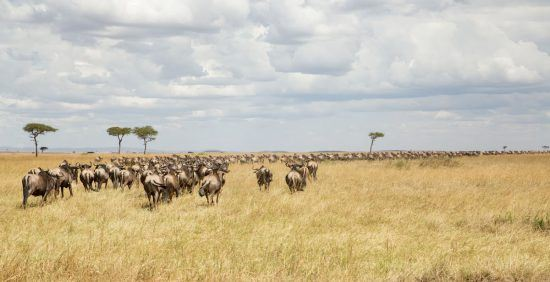 MAssive wildebeest herd migration across the plains during the Great Migration