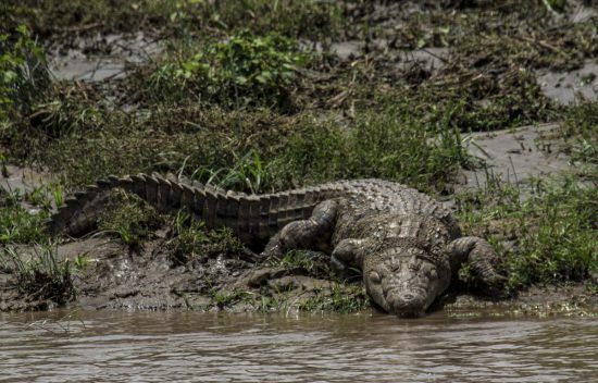 Crocodilo à espreita na margem do rio Mara