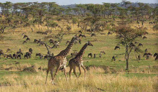 Zwei Giraffen, dahinter viele andere Tiere und Landschaft