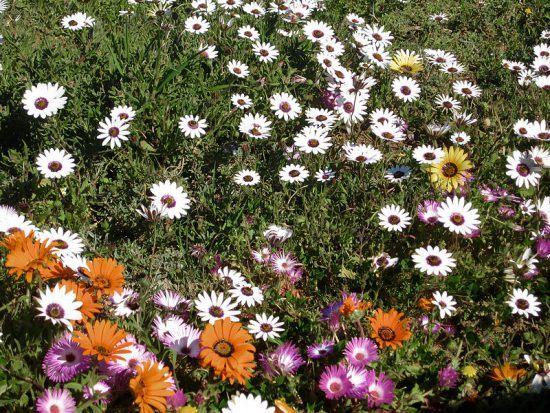 Flores de todas as cores em Postberg, no Parque Nacional da Costa Oeste