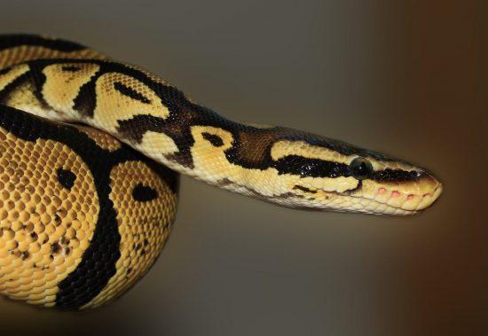 Nahaufnahme einer Python