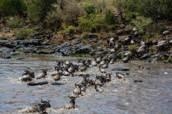 wildebees crossing river