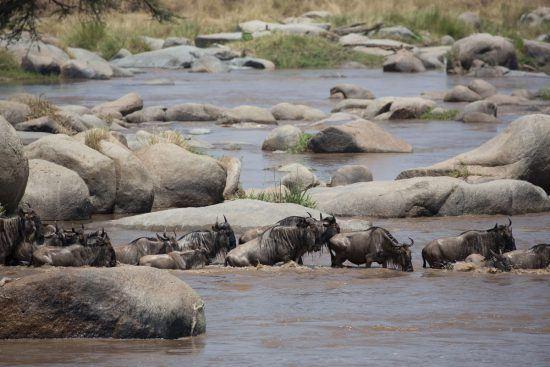 Gnus tentam cruzar rio Mara