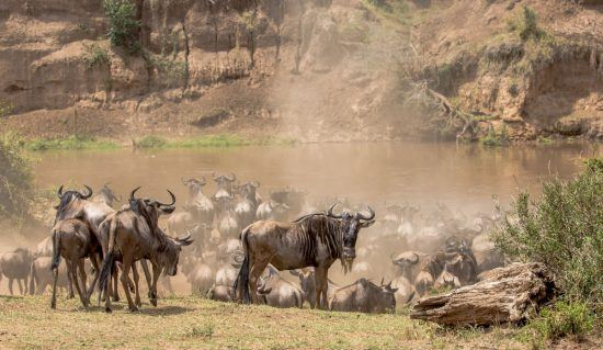 Wildebeest waiting for a Mara River Crossing