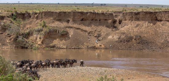 Wildebeest about to endure a Mara River Crossing during the Great Migration in the Serengeti and Maasai Mara