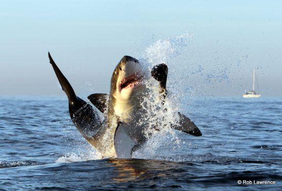 Ein weißer Hai springt vor der südafrikanischen Küste aus dem Wasser