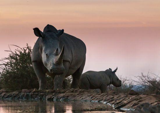 Nashorn mit Nachwuchs am Wasserloch