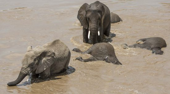 elephants swimming in the river
