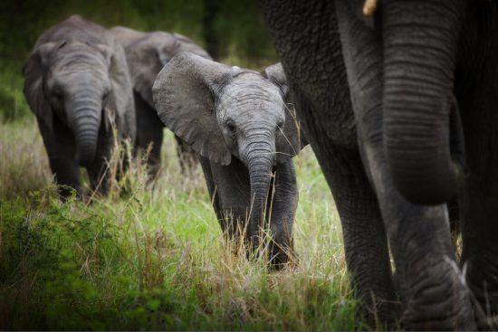 Kleiner Elefant mitten in einer Elefantenherde