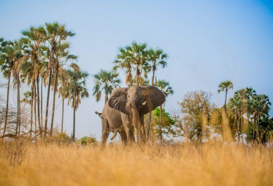 In Botswana laufen Sie auch mal Elefanten über den Weg...