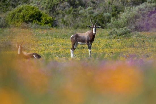 Bontebok, uma espécie de antílope africano, no Parque Nacional da Costa Oeste